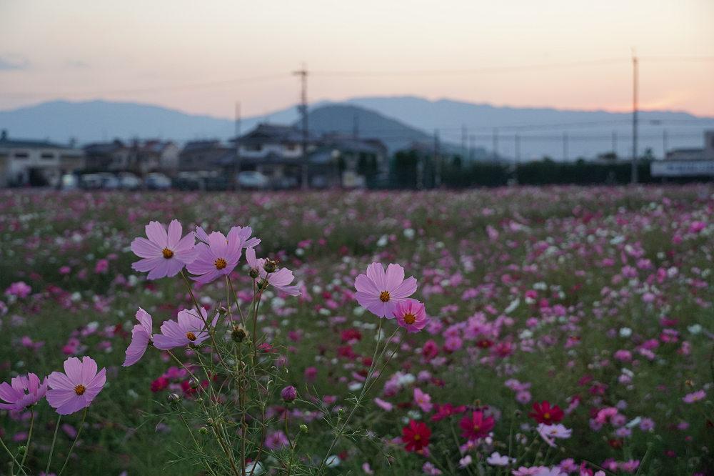 【写真】コスモスが咲き誇る「藤原宮跡」の夕暮れ(橿原市)