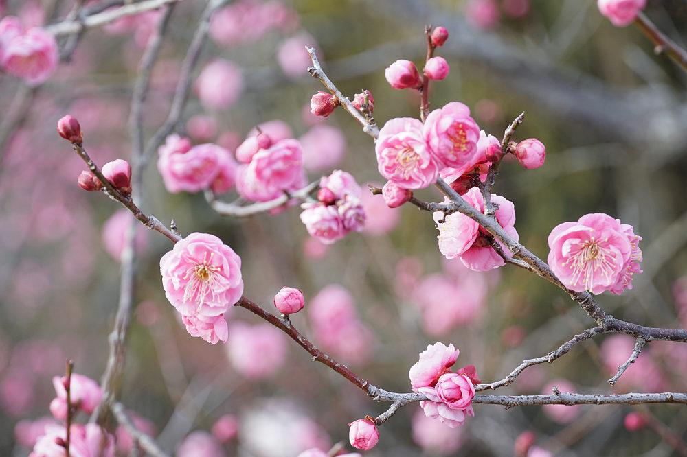 馬見丘陵公園の「梅」が咲き始めました(河合町・広陵町)