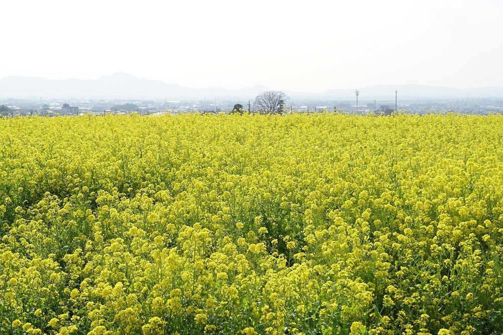 春の「山の辺の道」で見られた菜の花畑・猫・花々など