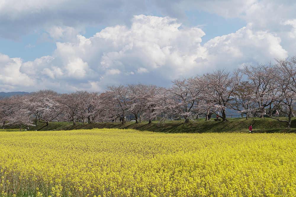 絶景!一面の菜の花と咲きかけの桜 @藤原宮跡(橿原市)