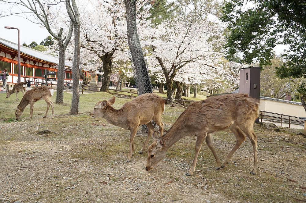 【桜】桜の名所100選・奈良公園の「桜」と「鹿」