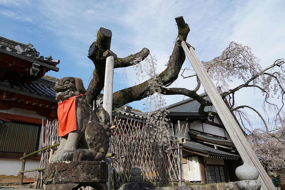 【桜】奈良の一番桜!氷室神社『枝垂れ桜』は治療が続いています