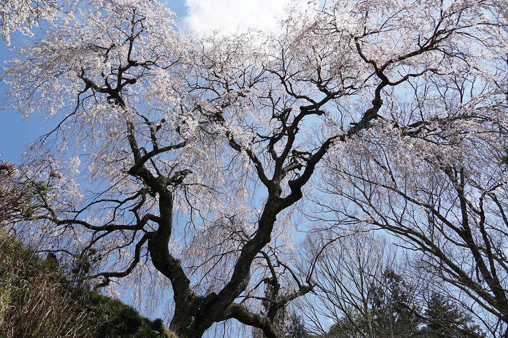 【桜】樹齢300年超のシダレザクラ『大照寺跡枝垂桜』@山添村