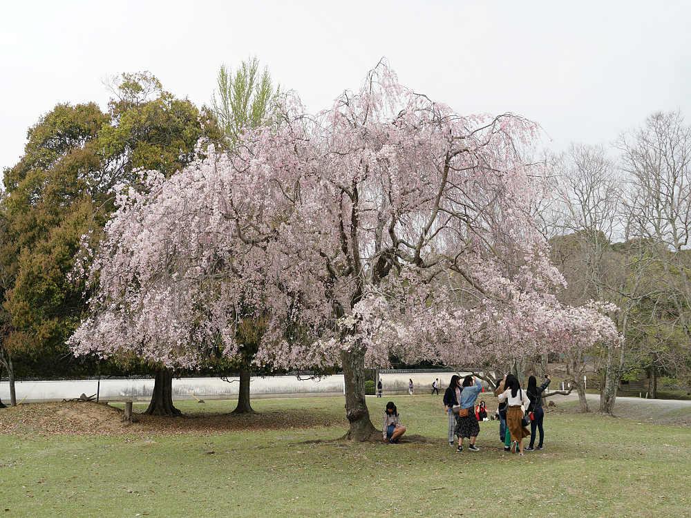 【桜】『おかっぱ桜』奈良公園ならではのおかっぱ型しだれ桜!
