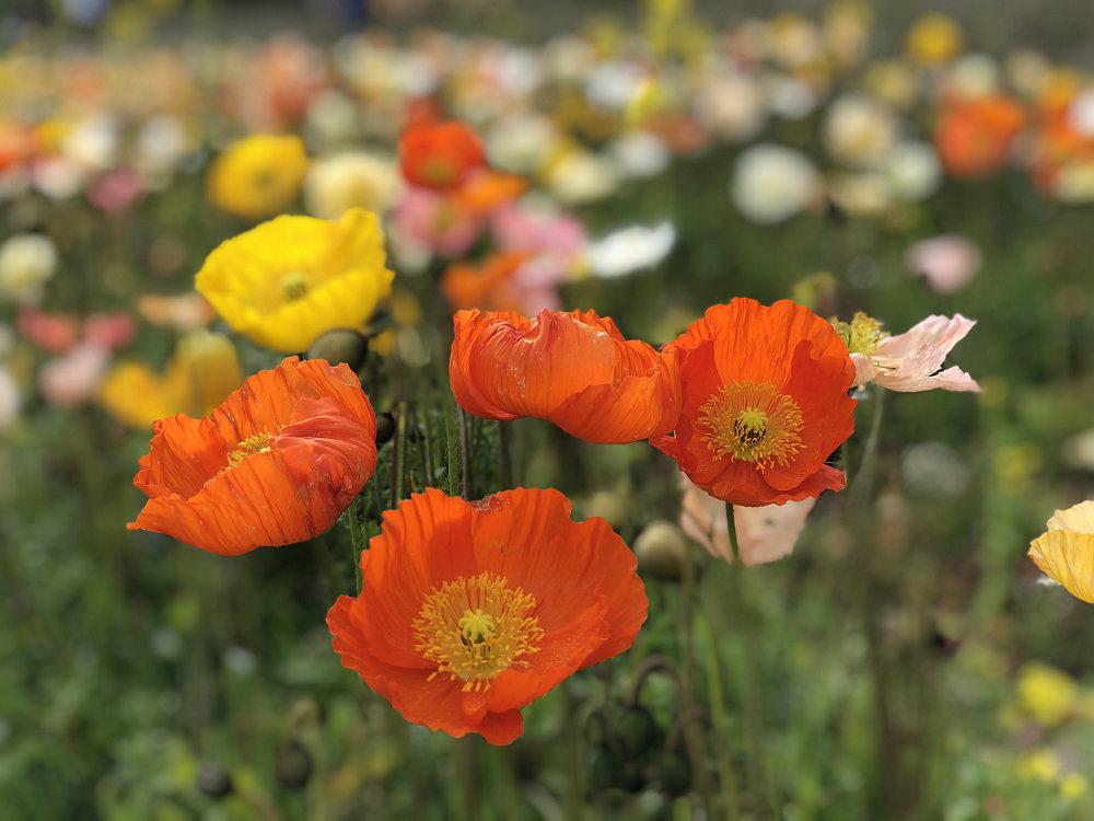 春の花々を愛でてきました(@甘樫丘・馬見丘陵公園・藤原宮跡)
