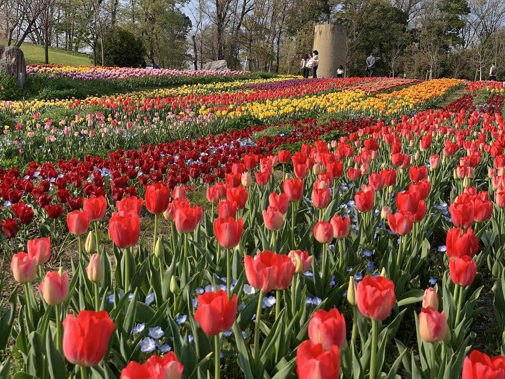 満開の桜とチューリップ!@馬見丘陵公園(河合町・広陵町)