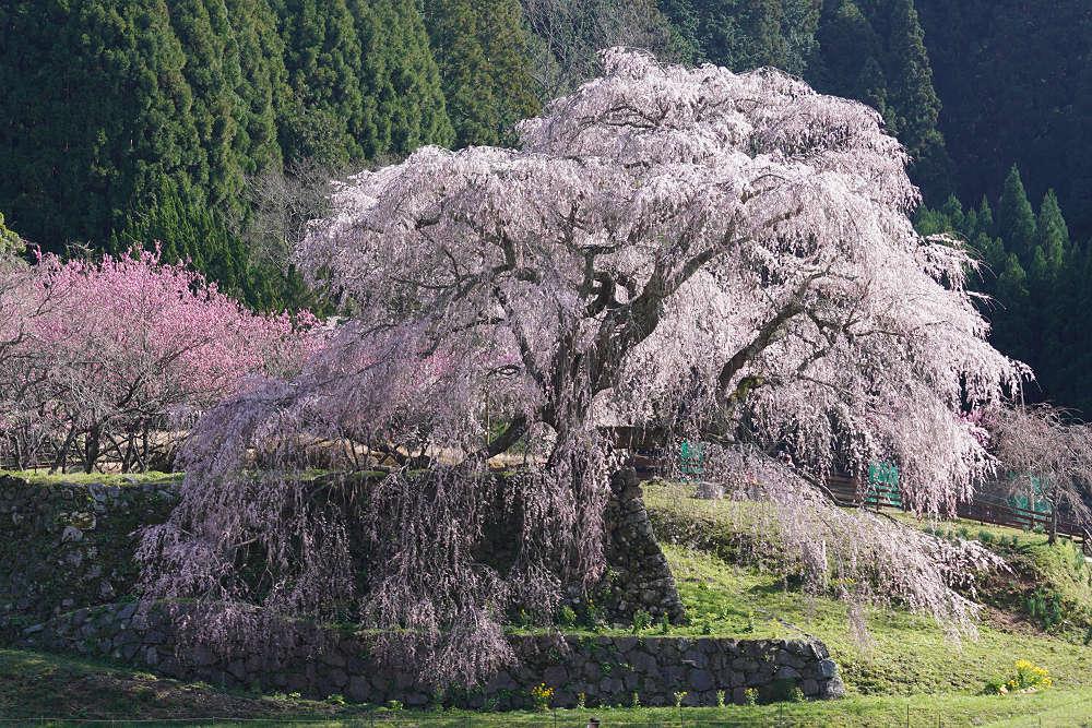 樹齢約300年!堂々たるしだれ桜『又兵衛桜』が満開 @宇陀市