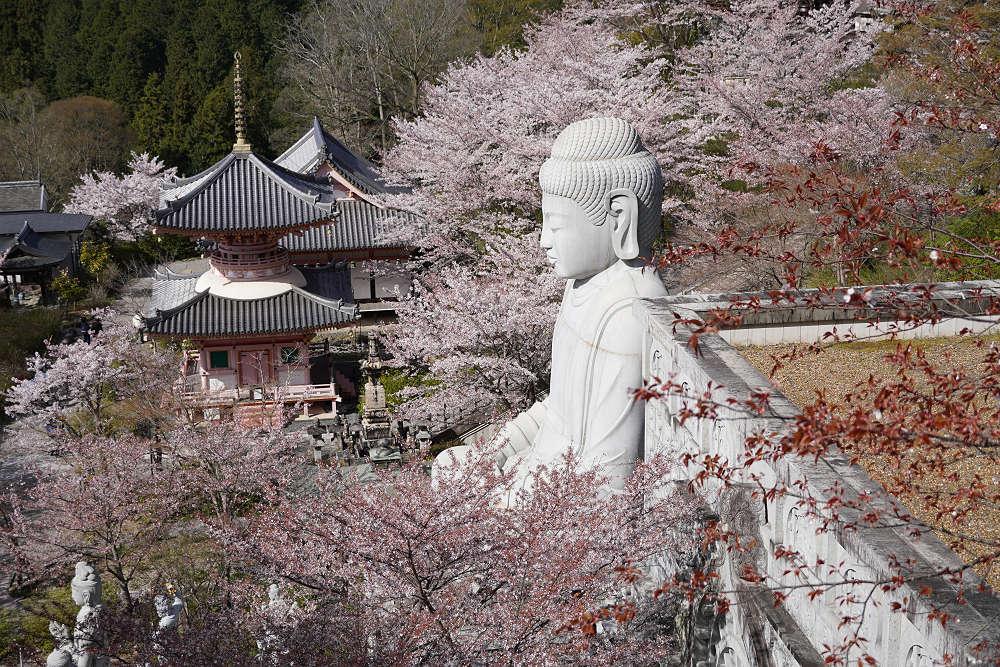 桜大仏と大雛曼荼羅!桜が咲き誇る『壷阪寺』@高取町