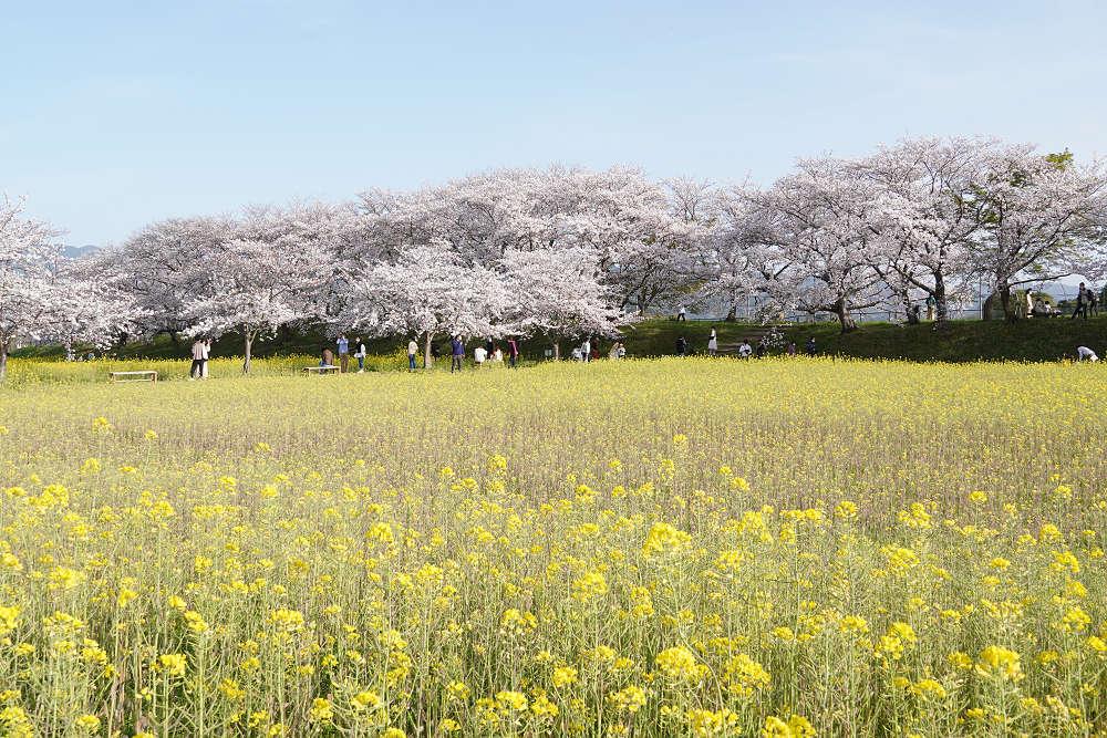 約250万本の菜の花、満開の桜!@藤原宮跡(橿原市)
