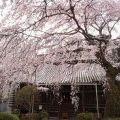今年初の桜は、地元・香芝市『専称寺』
