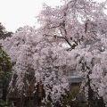 【桜】専称寺(香芝)のしだれ桜は満開!