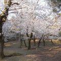 【桜】奈良市内はほぼ満開@奈良公園