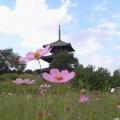 世界遺産『法起寺』三重塔とコスモス@斑鳩町