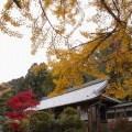 樹齢1200年「乳銀杏」の紅葉『一言主神社』@御所市