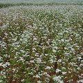 小さく可憐な「蕎麦の花」が満開に!@桜井市笠地区