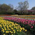 春爛漫!チューリップが満開に@馬見丘陵公園(河合町)